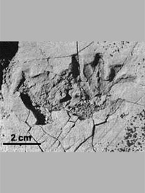 Synapsid tracks