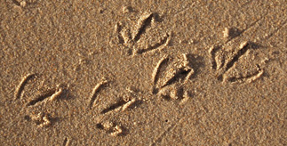 Modern bird tracks in sand