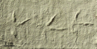 Fossil bird tracks