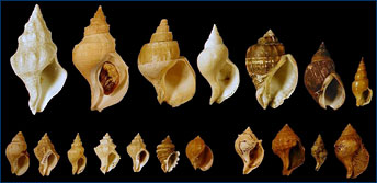A sample of buccinid gastropods that Jann Vendetti is looking at