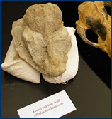 Fossil skull from a Sharktooth Hill sea lion