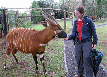 Katie Brakora feeds a docile pregnant bongo at the Mount Kenya Animal Orphanage