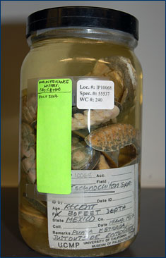 A specimen jar containing chitons from Mexico after receiving its new ethanol solution and labels.