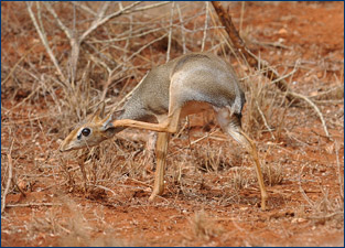 Katie Brakora was in Kenya looking at dik-diks