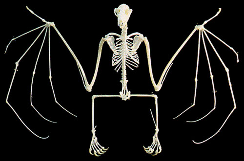 Bat skeleton drawing - photo#25