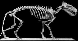 The oligocene epoch hyaenodon horridus a large carnivorous mammal from the white river oligocene of south dakota deposits containing hyaenodon are found in badlands national sciox Gallery