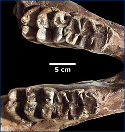 Gomphothere dentition