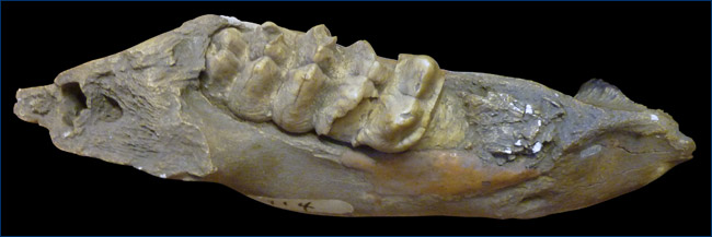 Mastodon jaw with tooth