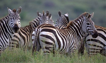 an introduction and background of the plains zebra The quagga and science what does the future  the background color of the plains zebra also varies as a cline, from black at the northern part of its range to a .