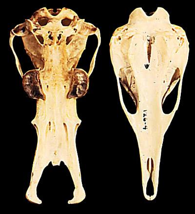Morphology of the Monotremata
