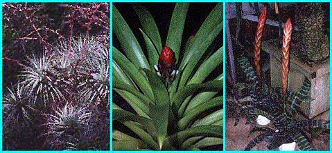 Bromeliad pineapple plant