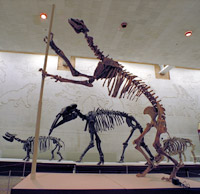 Chalicotherium schlosseri, from the Miocene of Kazakhstan