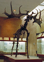 The Case of the Irish Elk