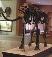 PIN mammoth skeleton