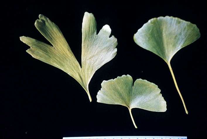 more on morphology of the ginkgoales