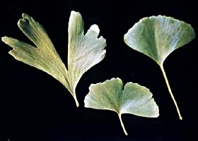 Ginkgo leaf variation