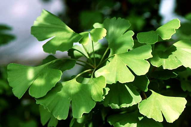 Introduction to the Ginkgoales