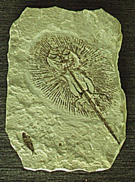 Fossil ray
