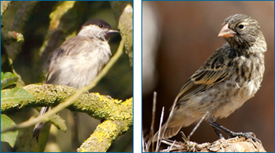 The Central European blackcap (left) and Galapagos ground finch (right) are two bird species that have undergone speciation recently, while scientists observed.