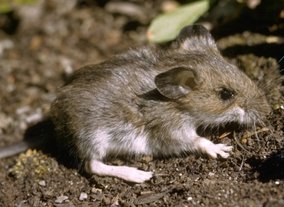 Pleistocene survivor, the deer mouse.  Photo by Glenn and Martha Vargas © California Academy of Sciences