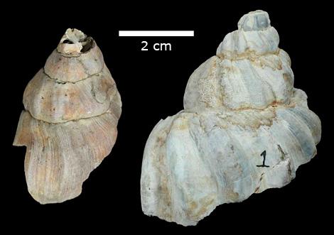 Neptuneidae specimens