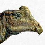 Baby Parasaurolophus reconstruction