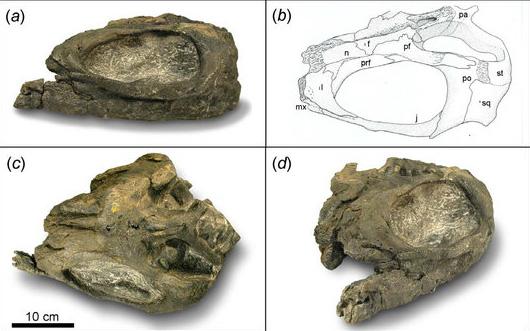 Partial Shastasaurus skull