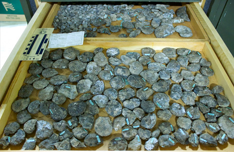 Drawer of ammonites