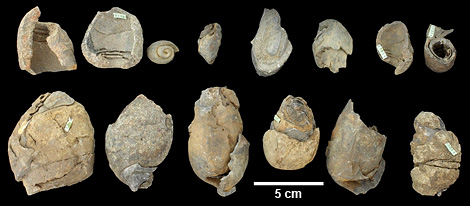 Actinella fossils
