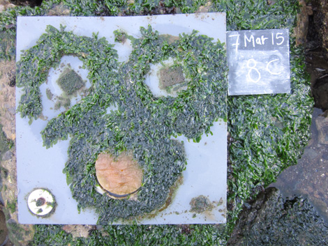 Algae established on a settling plate