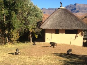 Chacma baboons (Papio hamadryas) eating grass at the Giant's Castle resort in the Drakensberg. Photo by Tesla Monson