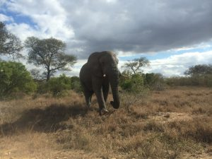 An African elephant (Loxodonta africana) in Kruger National Park, South Africa. Photo by Tesla Monson