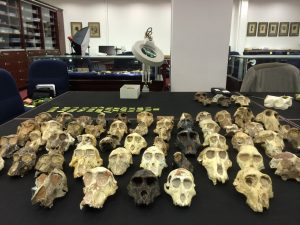 Fossil primates at the Evolutionary Studies Institute in Johannesburg, South Africa. Photo by Tesla Monson