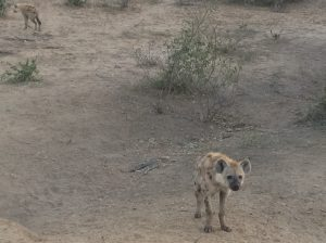 A baby spotted hyaena cub (Crocuta crocuta) in Kruger National Park, South Africa. Photo by Tesla Monson