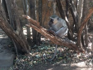 A vervet monkey (Chlorocebus pygerythrus) hangs out near a rest area in Kruger Park, South Africa. Photo by Tesla Monson