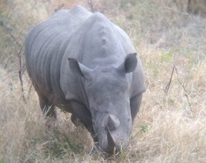 A white rhinoceros (Ceratotherium simum) in Kruger National Park, South Africa. Photo by Tesla Monson