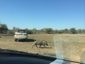 """A warthog (Phacochoerus africanus), also known as """"Radio Africa,"""" runs with its tail up. Photo by Tesla Monson"""