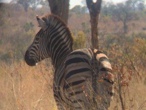 A zebra (Equus burchelli) in Kruger National Park, South Africa. Photo by Tesla Monson