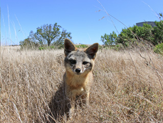 Island fox on San Nicolas Island. Island foxes are dwarfed relatives of mainland California's gray fox. Adult island foxes weigh about 4 pounds. Photo curtesy of the Island Conservancy.