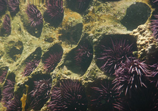 Intertidal sea urchins living in holes bored into Eocene sandstone on San Nicolas Island.