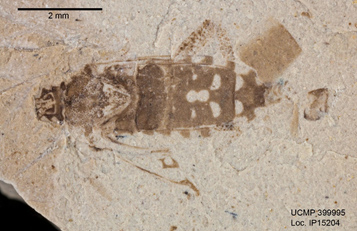 Stewart Valley rhopalid in dorsal view showing the distinctive abdominal markings