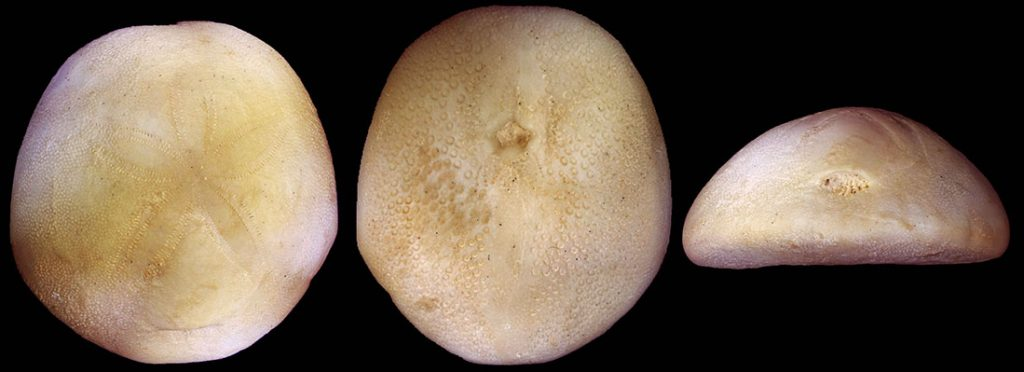 Photographs of Rhyncholampas gouldii (Bouve) (Cassidulidae) in aboral, oral and posterior view (from left to right).