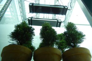 Conifers-under-UV-B-lamps