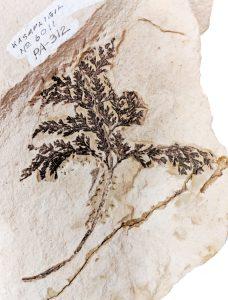 Kasapligil fossil fern