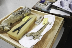 Toothed whale fossil